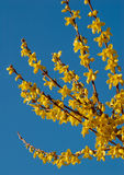 Forsythia in Bloom. Yellow flowers of forsythia bush against clear blue sky Royalty Free Stock Image