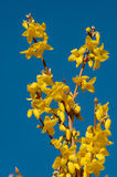Forsythia in Bloom. Yellow flowers of forsythia bush against clear blue sky Royalty Free Stock Photos