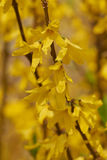 Forsythia in bloom in the garden Royalty Free Stock Photography