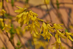 Forsythia in bloom in the garden Stock Images