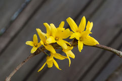 Yellow blooms of forsythia royalty free stock photography