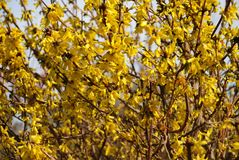 Forsythia blossom Stock Photography