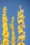 Forsythia blossom in spring in Germany. Forsythia blossom with a blue sky in spring in Germany Royalty Free Stock Photos