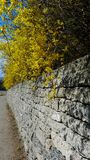 Forsythia blossom and retaining wall Royalty Free Stock Photos
