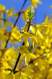 Forsythia blossom Royalty Free Stock Image