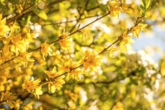 Forsythia blossom in spring in Germany. With cherry blossom in the background Stock Photo