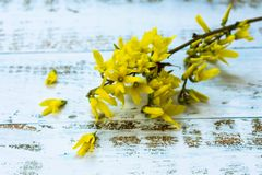 Forsythia blossoming twig easter tree with beautiful yellow flowers on table background stock images