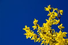 Forsythia and blue sky. Briliant yellow forsythia set against a deep blue spring sky.  Real sky, not a gradient Royalty Free Stock Photography
