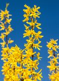 Forsythia with blue sky background Stock Photos
