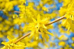 Forsythia branch in bloom Royalty Free Stock Photo