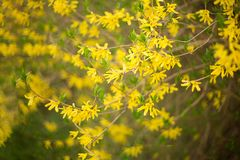 Forsythia branch on blurred spring bokeh background royalty free stock images