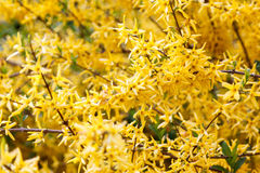 Forsythia branch strewn with yellow flowers Stock Image