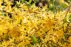 Forsythia branch strewn with yellow flowers Royalty Free Stock Photo