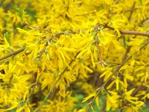 Free Forsythia Branches Stock Photography - 5156602