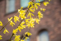 Forsythia branches. Blooming in bright sunlight Stock Images
