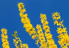 Forsythia branches with blue clear sky background Royalty Free Stock Photography
