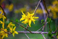 Forsythia branches Royalty Free Stock Images