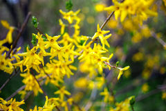 Forsythia branches Royalty Free Stock Image