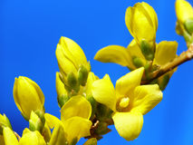 Forsythia buds Stock Photo