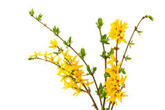 Forsythia Bundle Royalty Free Stock Photos