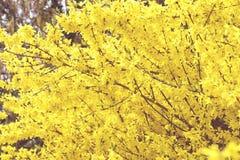 Forsythia bush blossom in springtime. fullframe background. Vintage image Royalty Free Stock Images
