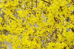 Forsythia bush blossom in springtime. fullframe background. Vintage image Royalty Free Stock Image