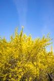 Forsythia bush on blue background. Yellow Forsythia bush on blue background in the spring royalty free stock photos