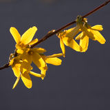Forsythia bush flower in closeup Stock Photo