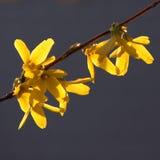 Forsythia bush flower in closeup stock photo