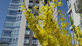 Forsythia bush flower. Forsythia yellow bush flower blooms move in spring wind on background of high flat house stock video