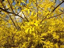 Forsythia Bush Flowers in Central Park. Stock Images