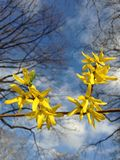 Forsythia Bush Flowers in Central Park. Stock Photos