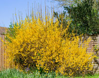 Forsythia Bush in Spring Royalty Free Stock Photography