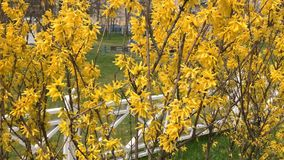 Forsythia bushes blossomed yellow flowers. Sunny spring day, the bush began to bloom yellow flowers. Beautiful bush in stock footage