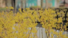 Forsythia bushes blossomed yellow flowers. Sunny spring day, the bush began to bloom yellow flowers. Beautiful bush in stock video