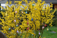 Forsythia with colorful Easter eggs royalty free stock images
