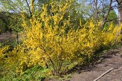 Forsythia dans un jardin de source Photographie stock