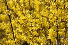 Forsythia de floraison jaune. Photo stock