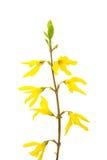 Forsythia de la flor Fotos de archivo libres de regalías