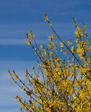 Forsythia detail - bright yellow spring flowers over blue streak Royalty Free Stock Images