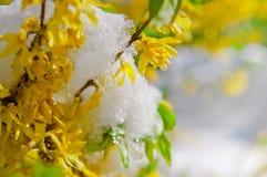 Forsythia di fioritura del confine dopo le precipitazioni nevose Fotografie Stock Libere da Diritti