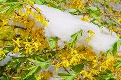 Forsythia di fioritura del confine dopo le precipitazioni nevose Fotografia Stock