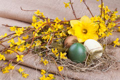 Forsythia easter decoration. Easter decoration with easter eggs, easter daffodil and forsythia branches Royalty Free Stock Photos