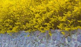 Forsythia en buske som blommar i den tidiga våren, ljus guling Arkivbild