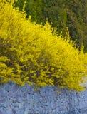 Forsythia en buske som blommar i den tidiga våren, ljus guling Royaltyfri Foto