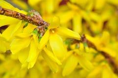 Forsythia en la plena floración Fotografía de archivo