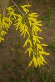 Forsythia en tr?dg?rdbuske som blommar med h?rliga gula blommor i tidig v?r royaltyfri fotografi