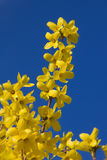 Forsythia förgrena sig full blom och blå himmel Arkivfoton