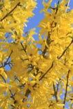 Forsythia fleurissant sur un fond de ciel bleu Photographie stock