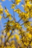 forsythia Fleurs jaunes Photos stock
